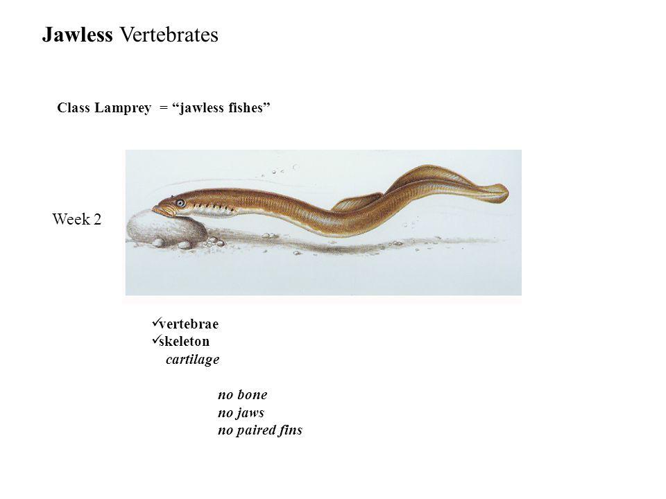 Class Lamprey = jawless fishes Week 2 Jawless Vertebrates vertebrae skeleton cartilage no bone no jaws no paired fins
