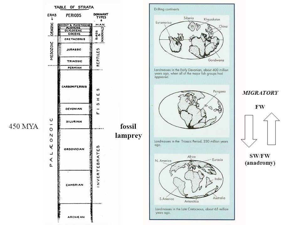 fossil lamprey 450 MYA MIGRATORY FW SW/FW (anadromy)
