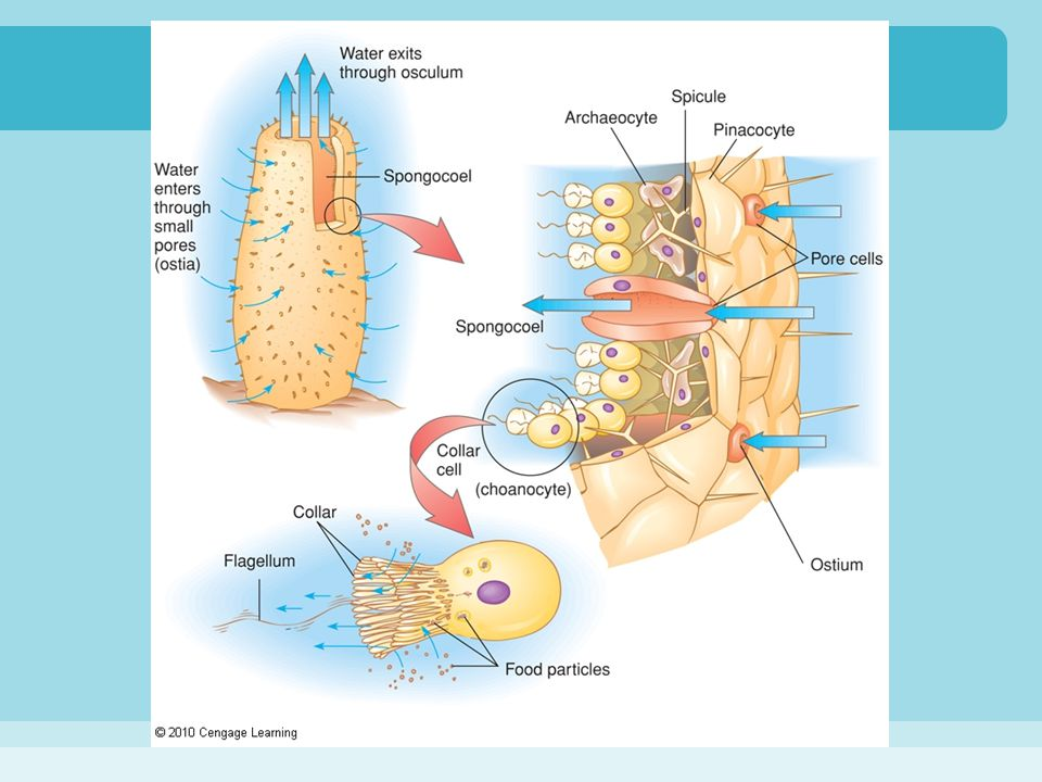Stinging Cells Cnida: stinging organelle within a cnidocyte, which may function in locomotion, prey capture, or defense –nematocysts: spearing type cnida, which are discharged when the cnidocill—a bristle-like trigger—contacts another object