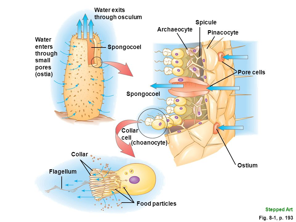 Sponge Structure and Function Lacking tissues, sponges have specialized cells –collar cells (choanocytes) use their flagella to provide force for moving water through the sponge's body –pinacocytes in a layer provide an outer covering for the sponge –archaeocytes: cells that resemble amoebas, and can move through sponge body can assume any of the other cell forms transport materials important role in repair and regeneration