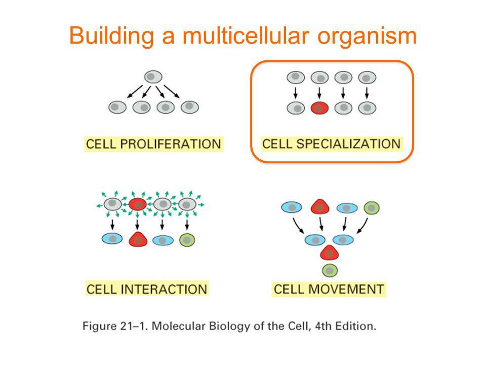 Building a multicellular organism