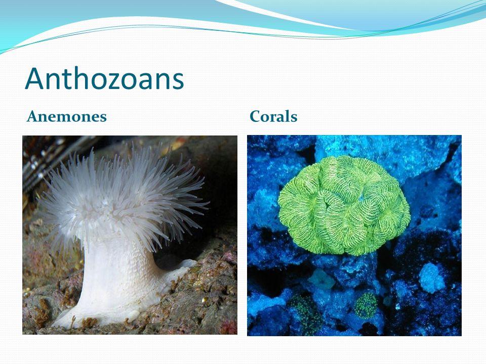 Anthozoans Anemones Corals