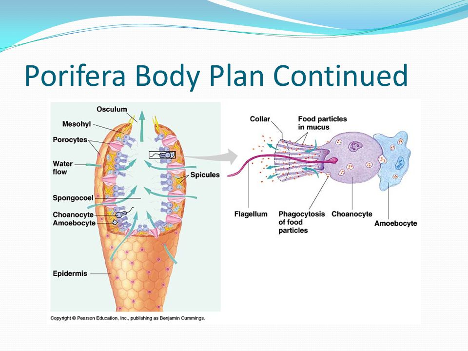 Porifera Body Plan Continued