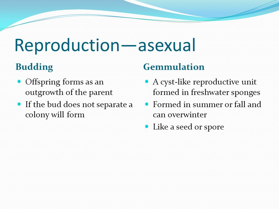 Reproduction—asexual Budding Gemmulation Offspring forms as an outgrowth of the parent If the bud does not separate a colony will form A cyst-like reproductive unit formed in freshwater sponges Formed in summer or fall and can overwinter Like a seed or spore