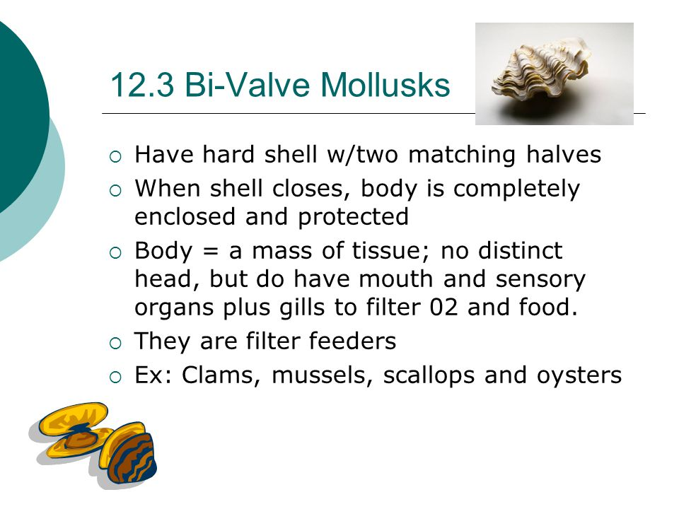 12.3 Bi-Valve Mollusks  Have hard shell w/two matching halves  When shell closes, body is completely enclosed and protected  Body = a mass of tissu