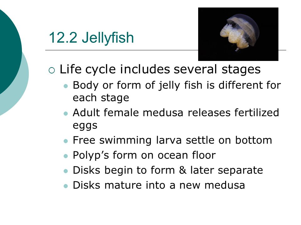 12.2 Jellyfish  Life cycle includes several stages Body or form of jelly fish is different for each stage Adult female medusa releases fertilized egg