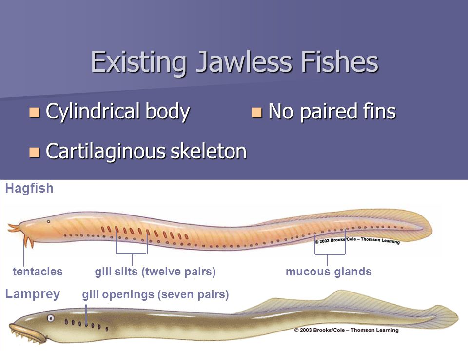 Existing Jawless Fishes Cylindrical body Cylindrical body Cartilaginous skeleton Cartilaginous skeleton No paired fins No paired fins gill openings (seven pairs) Lamprey Hagfish tentaclesgill slits (twelve pairs)mucous glands