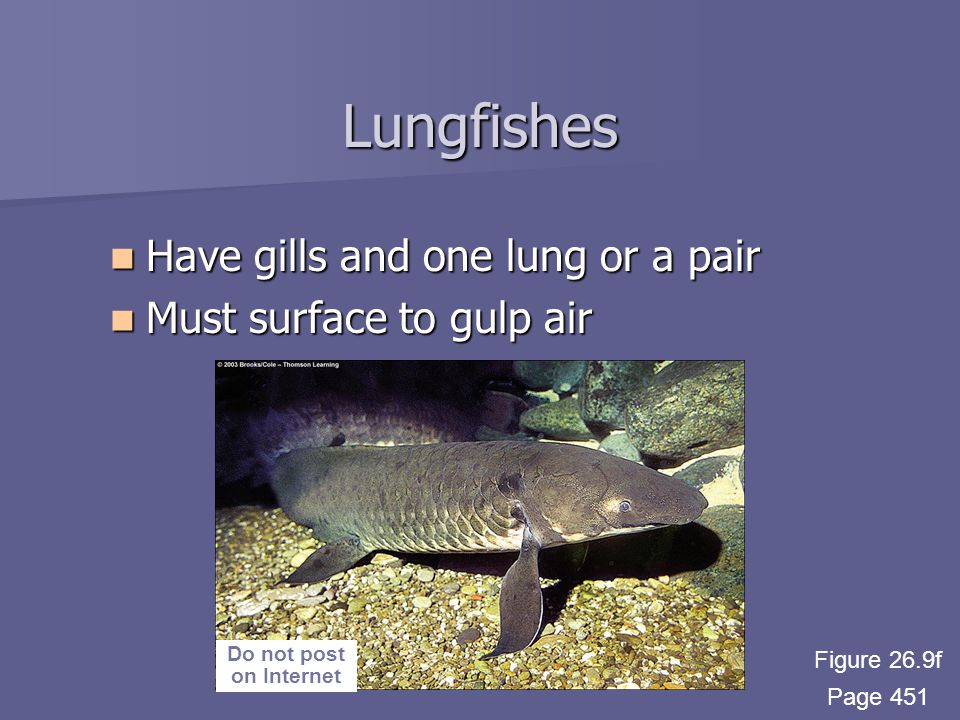 Lungfishes Have gills and one lung or a pair Have gills and one lung or a pair Must surface to gulp air Must surface to gulp air Do not post on Internet Figure 26.9f Page 451
