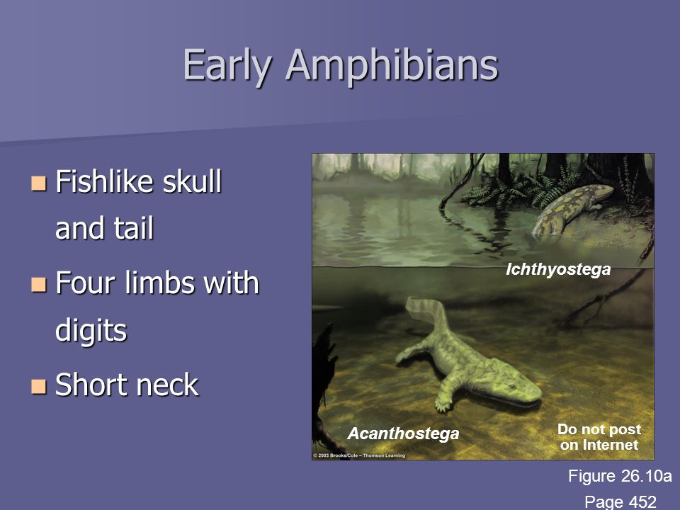 Early Amphibians Fishlike skull and tail Fishlike skull and tail Four limbs with digits Four limbs with digits Short neck Short neck Acanthostega Ichthyostega Do not post on Internet Figure 26.10a Page 452
