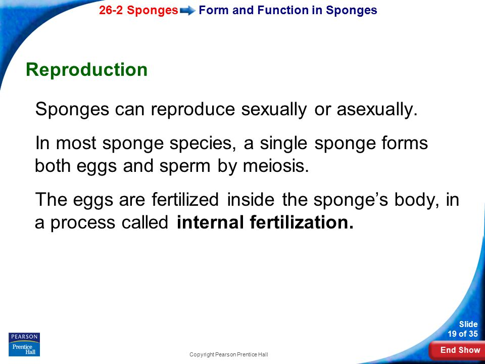 End Show 26-2 Sponges Slide 19 of 35 Copyright Pearson Prentice Hall Form and Function in Sponges Reproduction Sponges can reproduce sexually or asexu