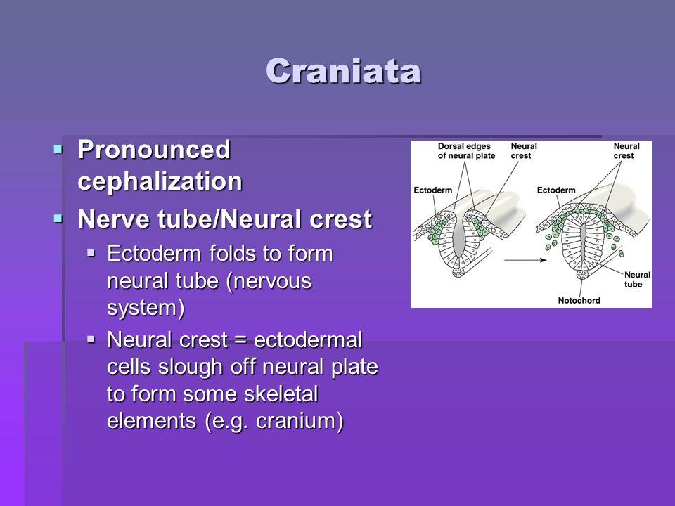 Living Craniata  Class Myxini: hagfish.