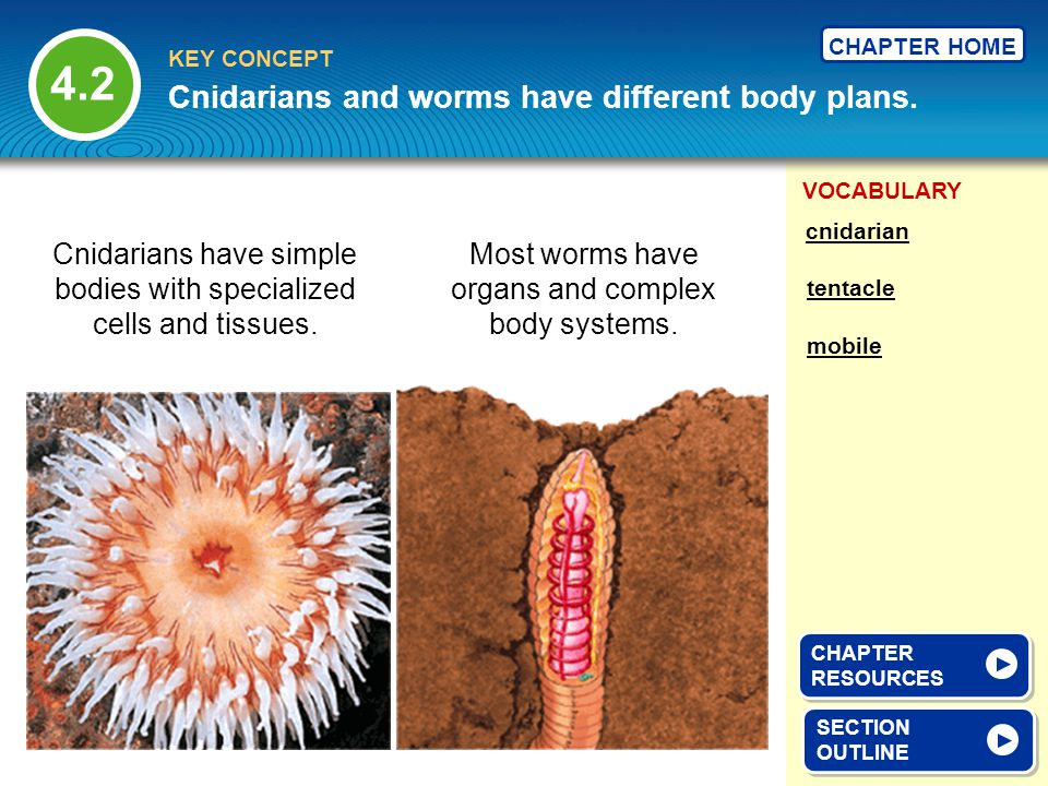 VOCABULARY KEY CONCEPT CHAPTER HOME Cnidarians and worms have different body plans. SECTION OUTLINE SECTION OUTLINE tentacle mobile cnidarian Cnidaria