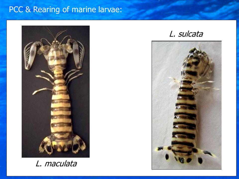 L. maculata L. sulcata PCC & Rearing of marine larvae: