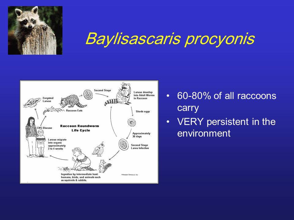 Baylisascaris procyonis 60-80% of all raccoons carry VERY persistent in the environment