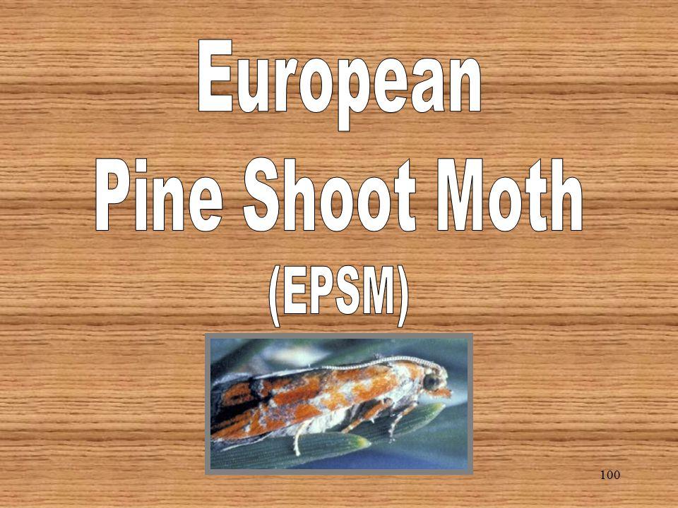 99 Black-headed Pine Sawfly