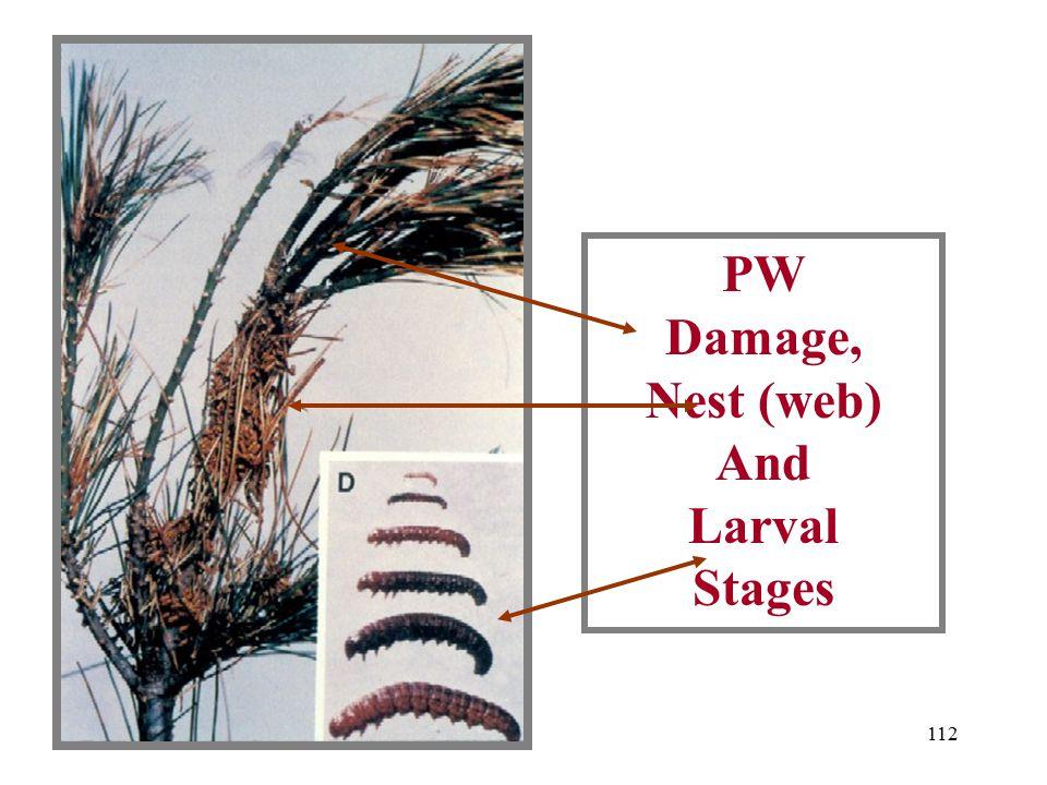 111 Web Of Pine Webworm