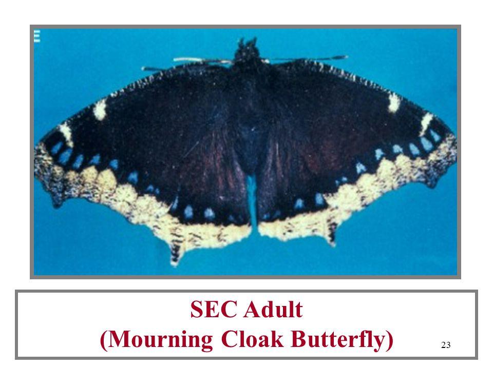 22 Spiney Elm Caterpillars (SEC)