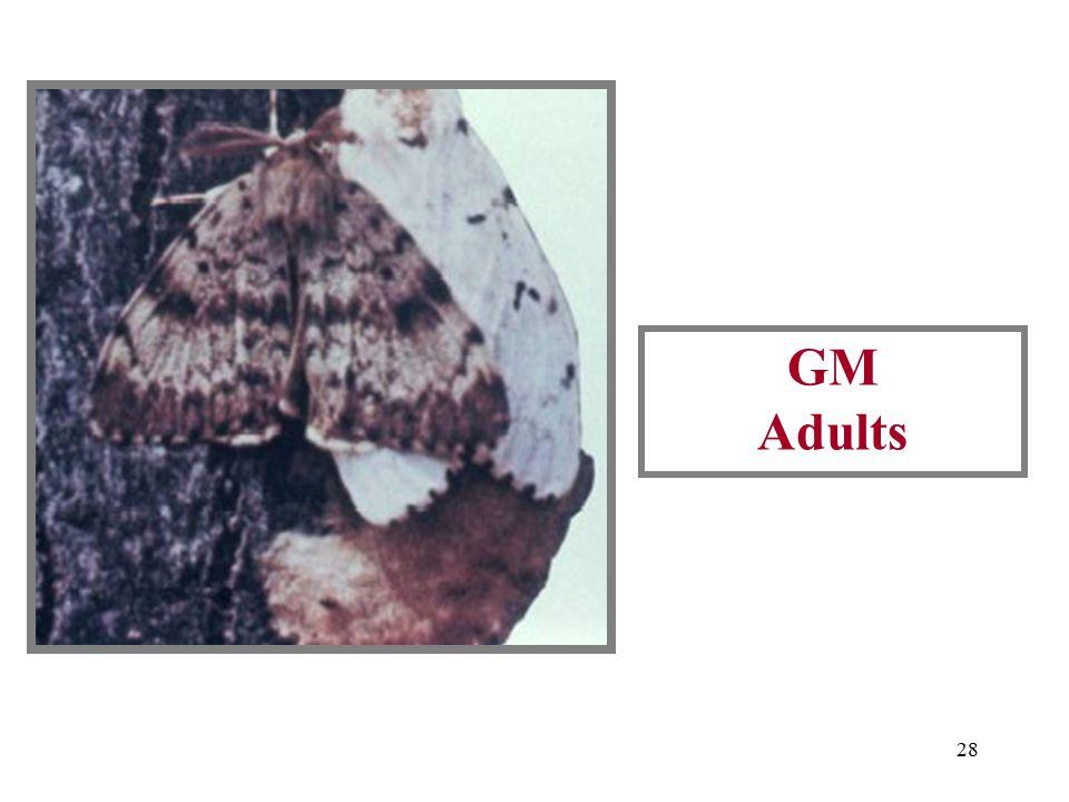27 GM Adults (Male is dark moth)