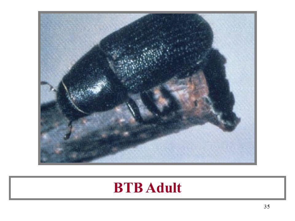 34 BTB Pitch Tube (entry into host tree)