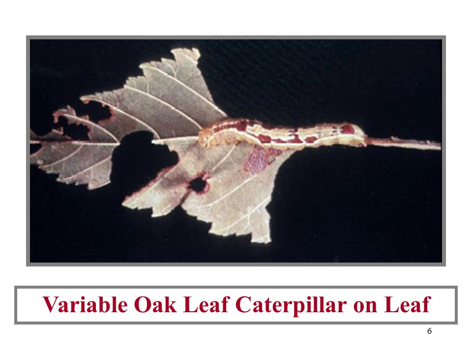 6 Variable Oak Leaf Caterpillar on Leaf