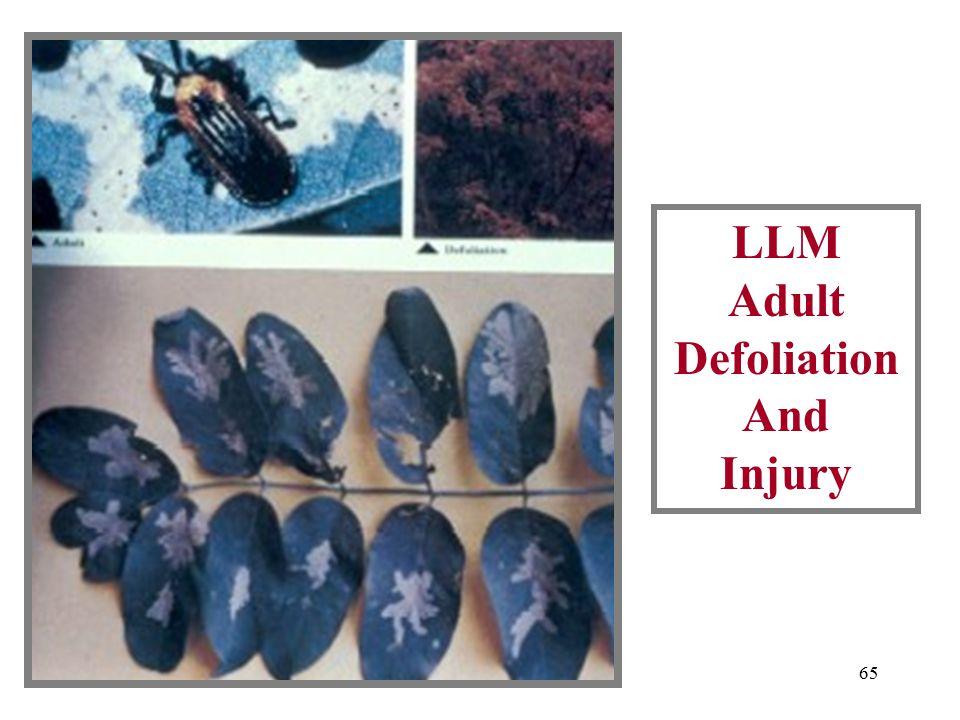 64 LLM Adult And Leaf Injury