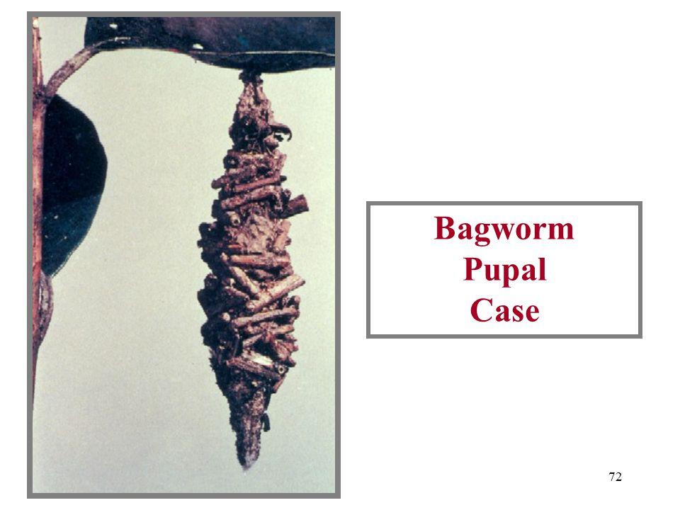 71 Bagworm Pupal Cases