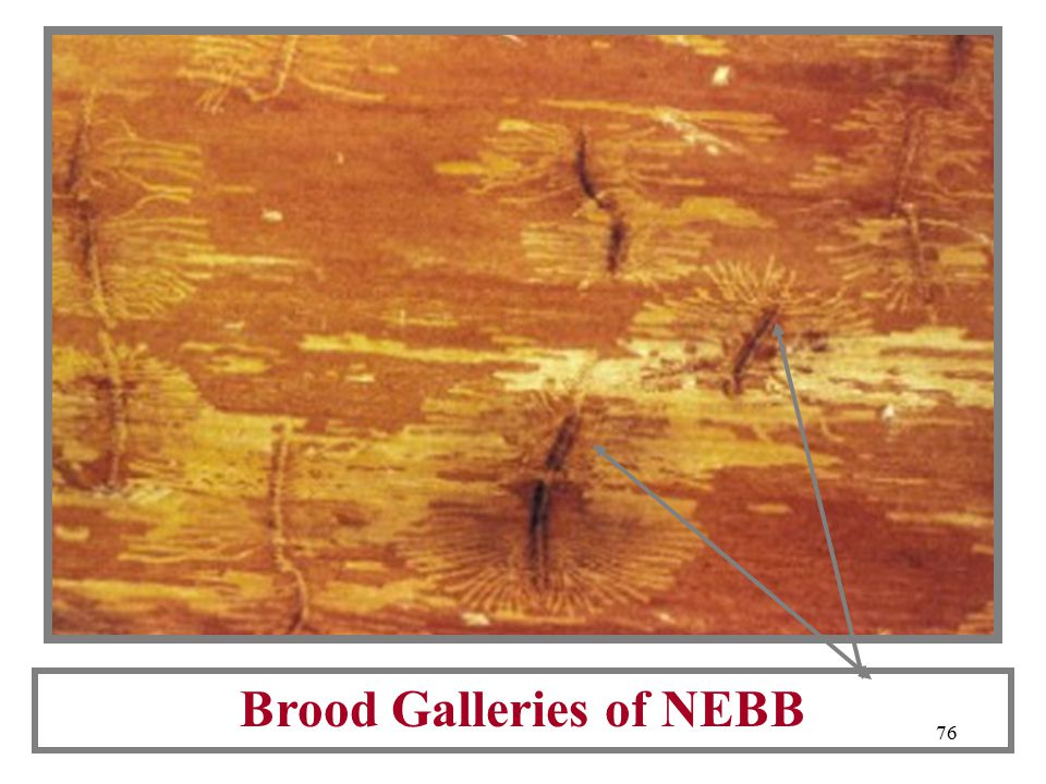 75 For Comparison: Adult NEBB A Newly Emerged NEBB European Elm Bark Beetle