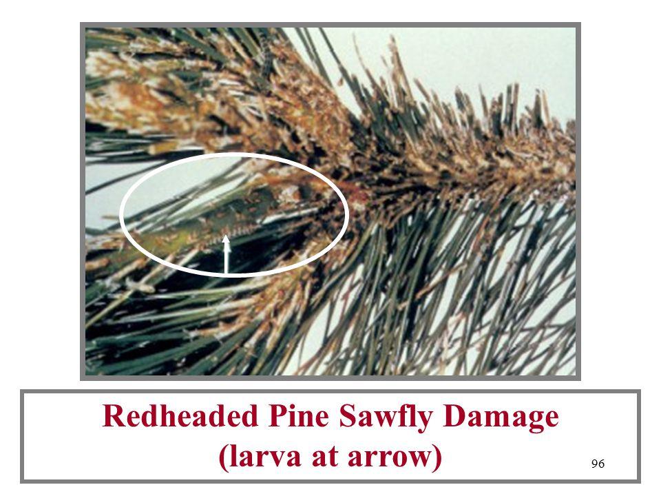 95 Redheaded Pine Sawfly Larva
