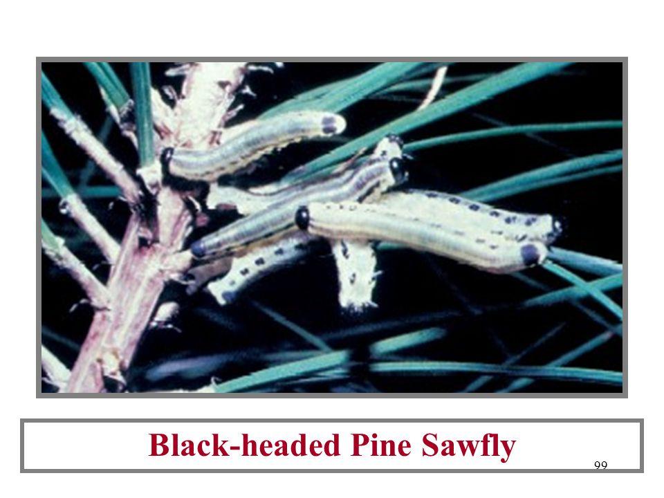 98 Examples of CS Larvae: Redheaded Pine Sawfly Red Pine Sawfly Virginia Pine Sawfly White Pine Sawfly