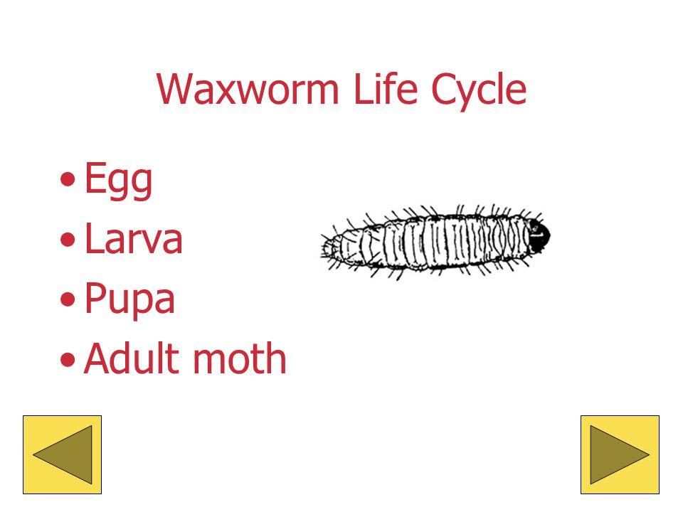 The ADULT … Lives for about 30 days. It can survive on bran and an apple or potato for moisture. Flaps its wings when it is ready to mate. Lays eggs a
