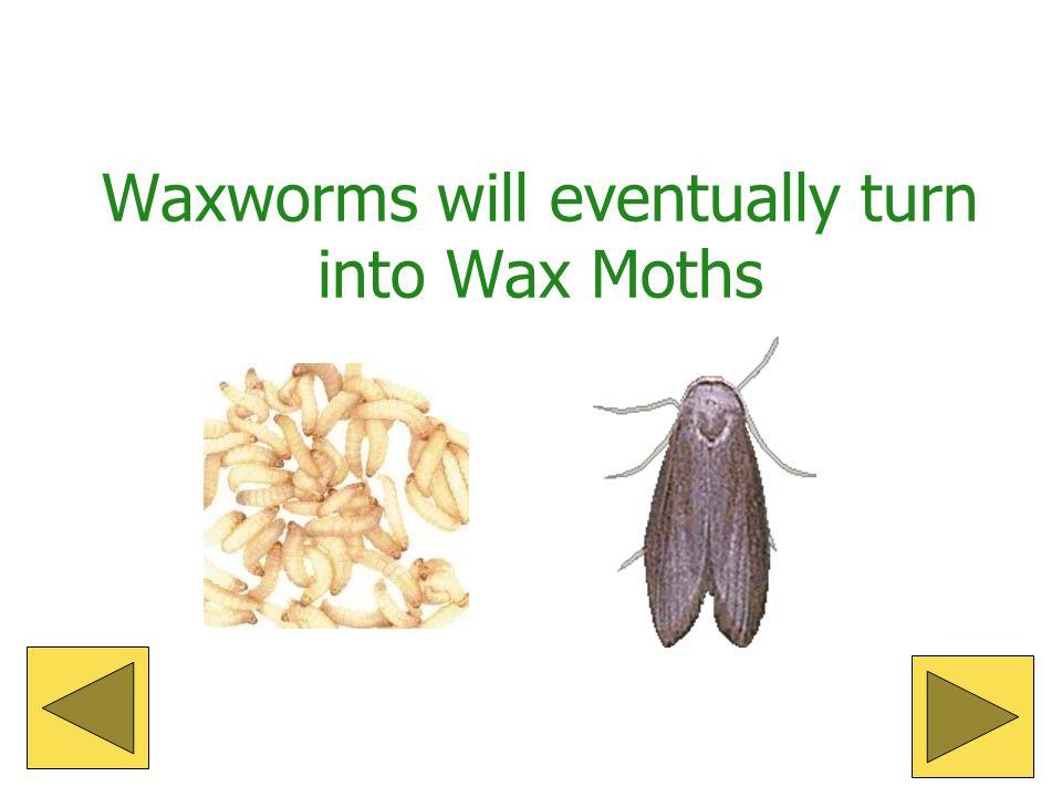 Waxworm Life Cycle Egg Larva Pupa Adult moth