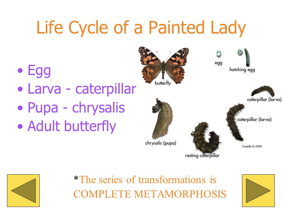 After about 2 weeks the adult moth emerges. The adults do not eat or drink! After mating the females lay their eggs and die.