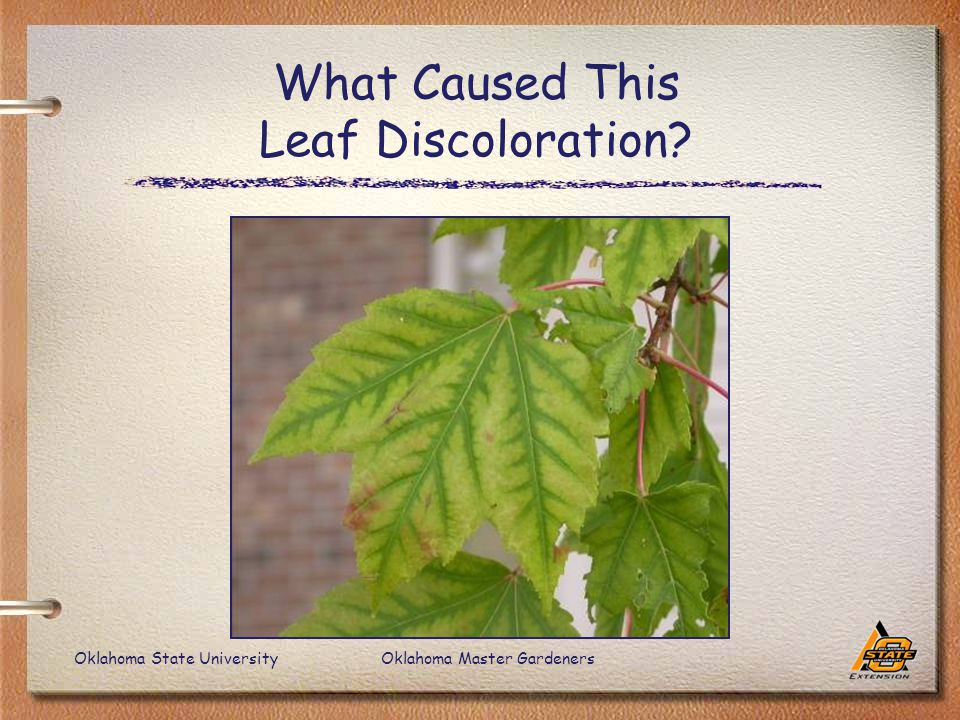 Oklahoma State UniversityOklahoma Master Gardeners What Caused This Leaf Discoloration