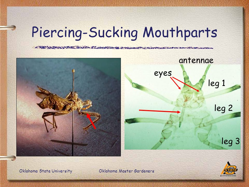 Oklahoma State UniversityOklahoma Master Gardeners Piercing-Sucking Mouthparts leg 1 leg 2 leg 3 antennae eyes