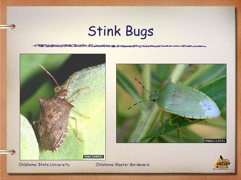 Oklahoma State UniversityOklahoma Master Gardeners Stink Bugs