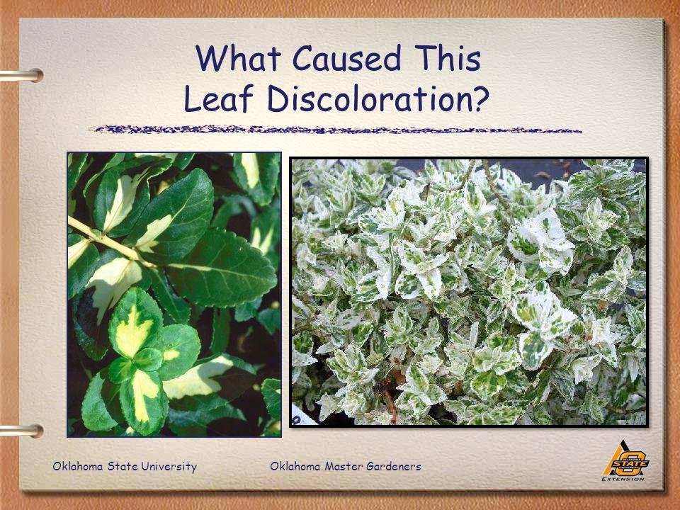 Oklahoma State UniversityOklahoma Master Gardeners What Caused This Leaf Discoloration?