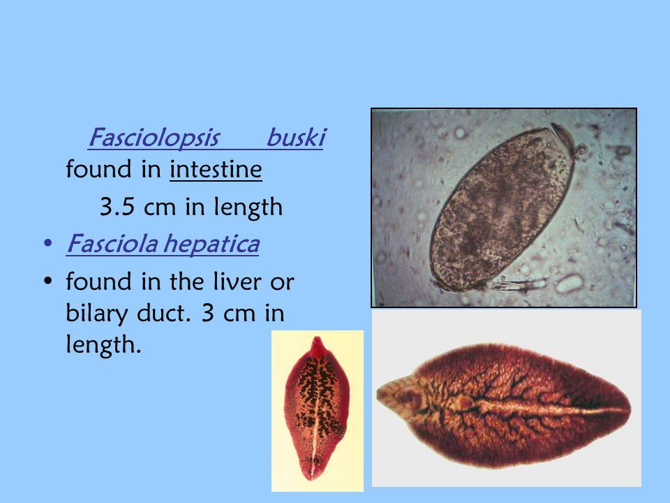 Fasciolopsis buski found in intestine  3.5 cm in length Fasciola hepatica found in the liver or bilary duct. 3 cm in length.