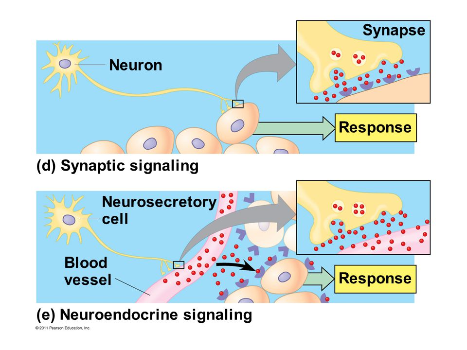 Synapse Response Neuron (d) Synaptic signaling Neurosecretory cell Blood vessel (e) Neuroendocrine signaling