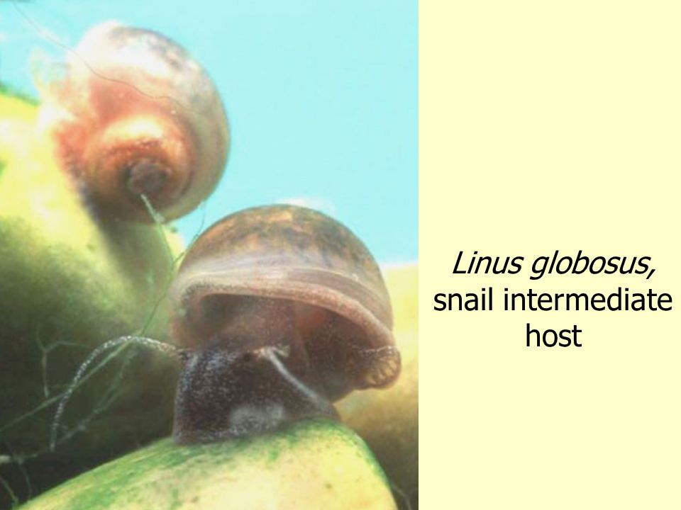 Linus globosus, snail intermediate host