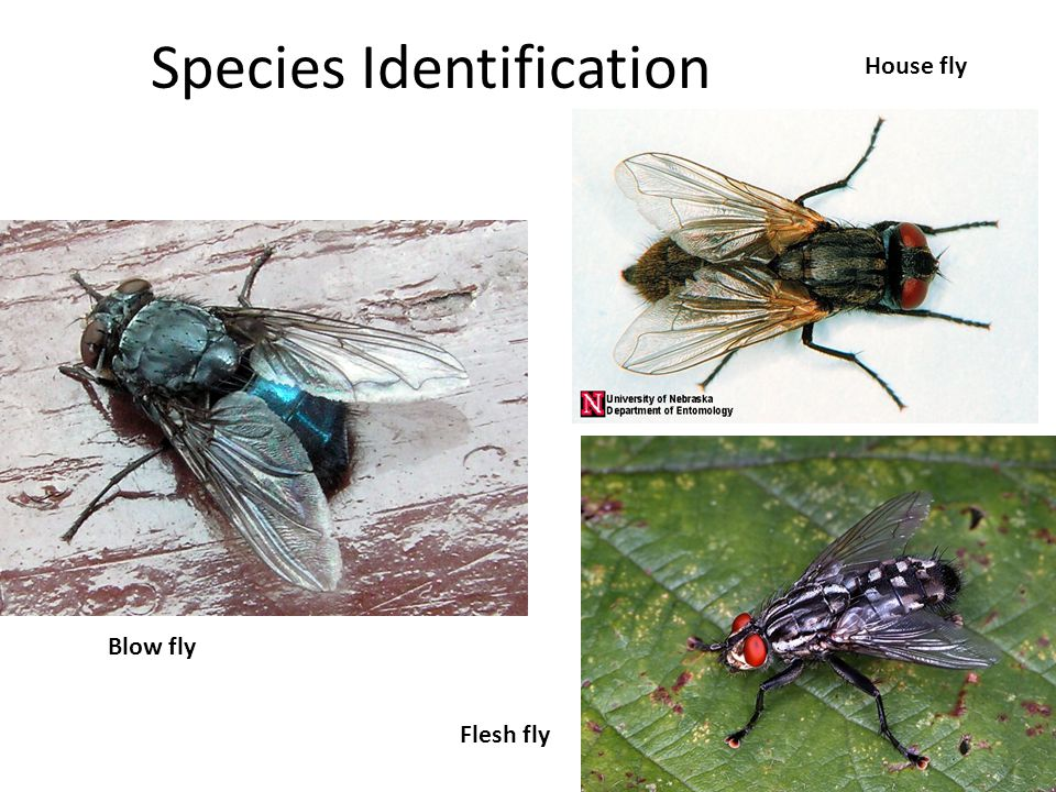 Species Identification Blow fly House fly Flesh fly