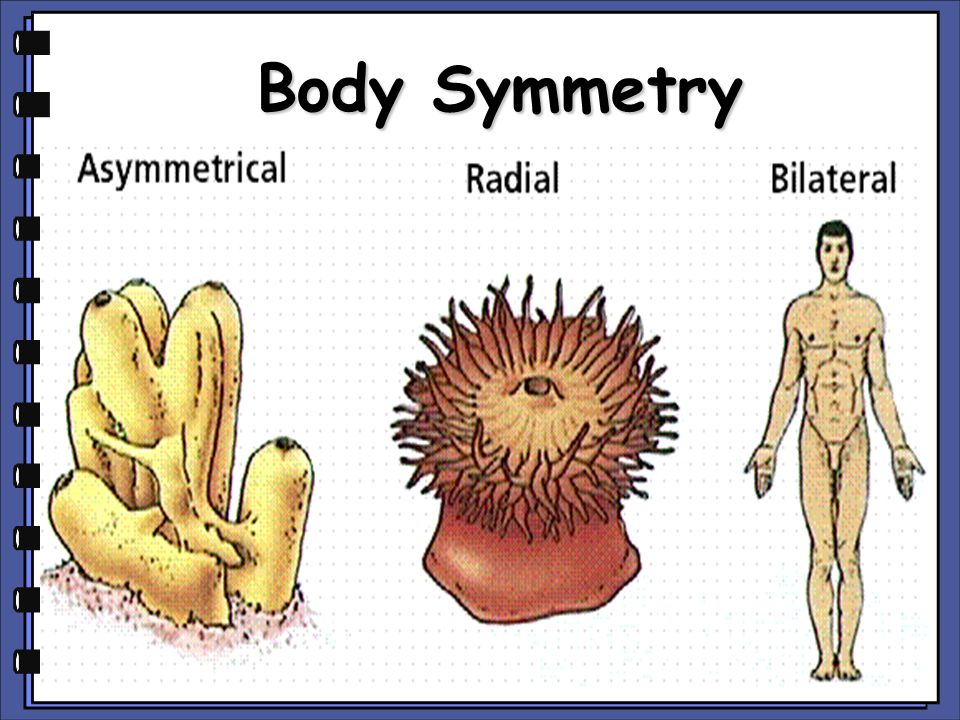 Symmetry is the arrangement of body parts around a central plane or axis Asymmetry occurs when the body can't be divided into similar sections (sponges)