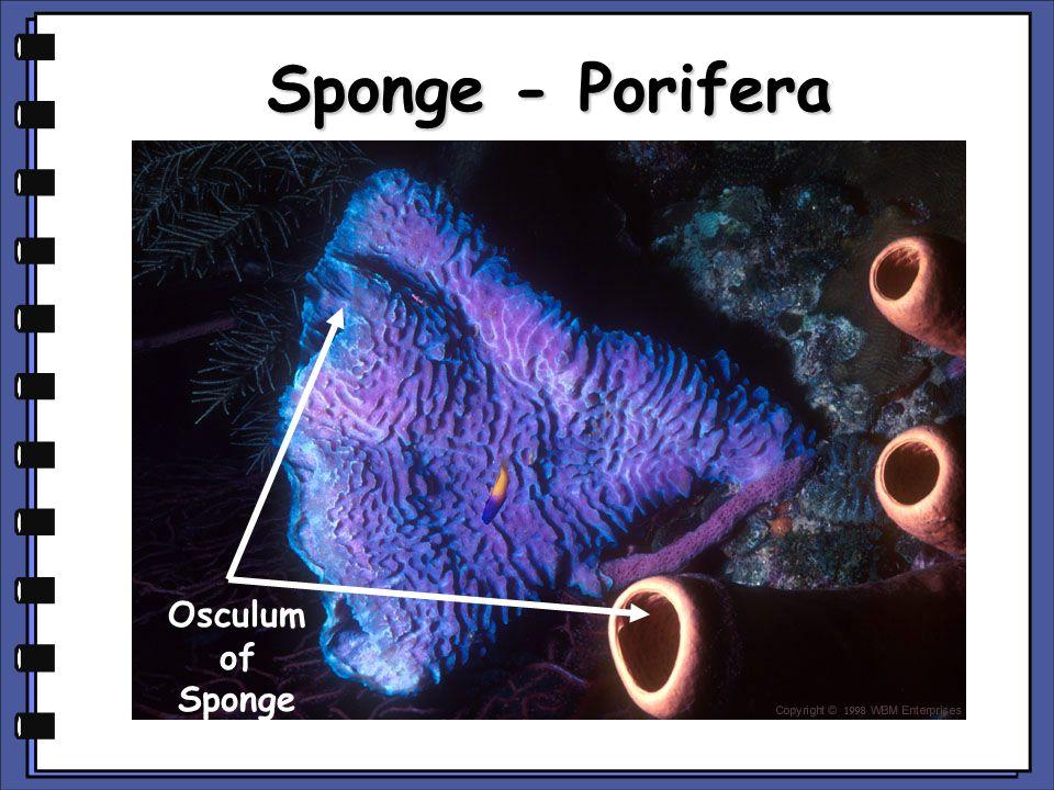 Sea Anemone - Cnidaria Tentacles of Sea Anemone