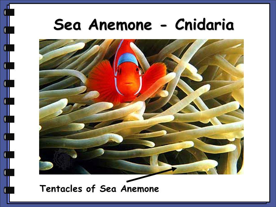 More Cnidarians Brain Coral Red jellyfish