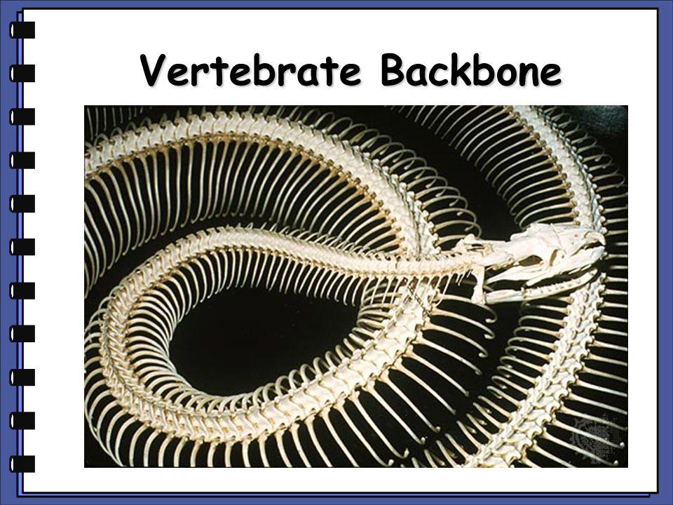Vertebrata Vertebrates have endoskeletons (internal) Some vertebrates have skeletons of cartilage (sharks, rays, and skates) Other vertebrates have skeletons of bone and cartilage (reptiles, birds, & mammals)
