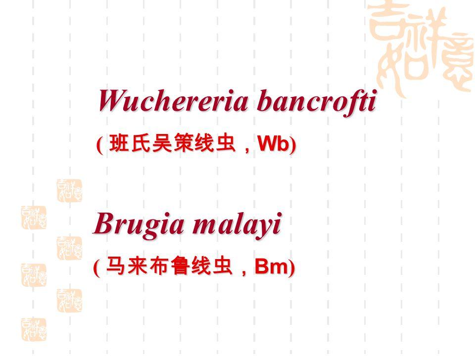Wuchereria bancrofti  Caudal end of the microfilaria.