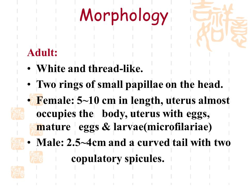 Morphology Adult: White and thread-like.Two rings of small papillae on the head.