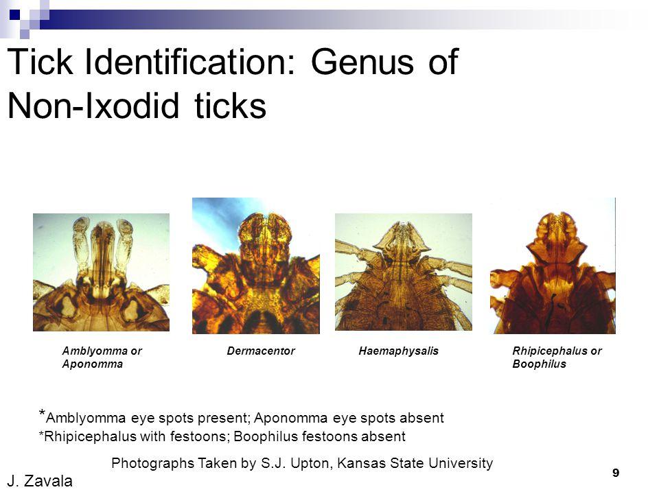 9 Tick Identification: Genus of Non-Ixodid ticks Photographs Taken by S.J. Upton, Kansas State University * Amblyomma eye spots present; Aponomma eye