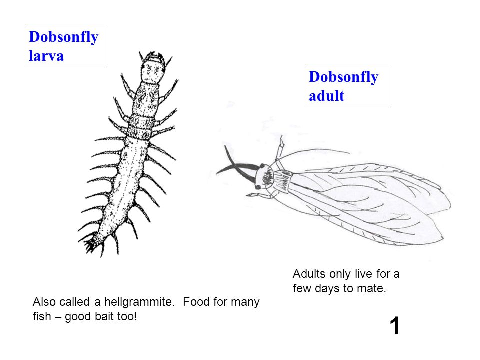 Dobsonfly adult 1 Dobsonfly larva Also called a hellgrammite. Food for many fish – good bait too! Adults only live for a few days to mate.