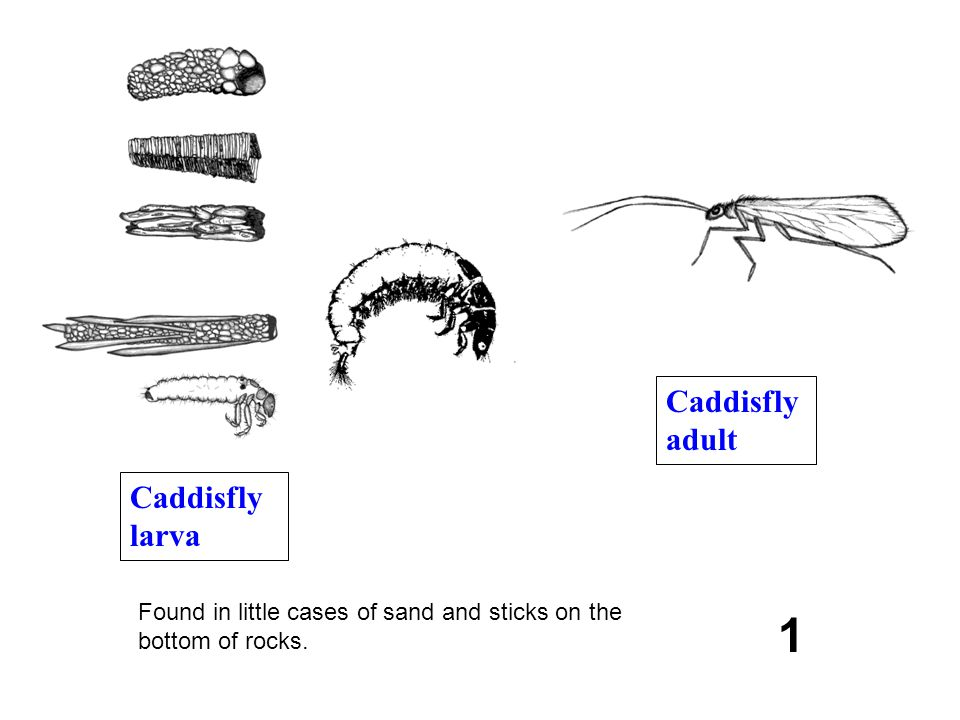 1 Found in little cases of sand and sticks on the bottom of rocks. Caddisfly larva Caddisfly adult