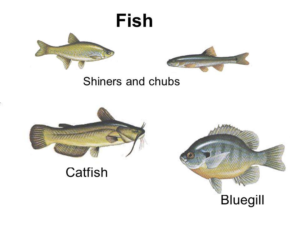 Fish Catfish Shiners and chubs Bluegill